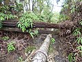 Starr-180909-0716-Eucalyptus robusta-fallen on pipe-Lower Kula Pipeline Waikamoi-Maui (43998706010).jpg