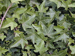 Starr 010419-0076 Hedera helix