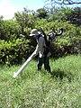 Starr 030626-0028 Cynodon dactylon.jpg
