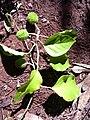 Starr 040105-0100 Croton guatemalensis.jpg