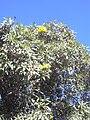 Starr 040925-0008 Tabebuia aurea.jpg