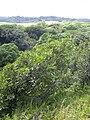 Starr 041018-0026 Syzygium jambos.jpg