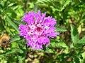 Starr 050517-1561 Palafoxia callosa.jpg