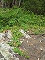 Starr 050815-3428 Rubus argutus.jpg