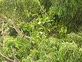 Starr 050816-3545 Smilax melastomifolia.jpg