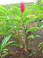 Starr 060922-9065 Alpinia purpurata.jpg
