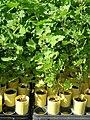 Starr 061108-9627 Chenopodium oahuense.jpg