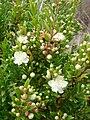 Starr 070621-7507 Myrtus communis.jpg