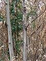 Starr 070908-9254 Eucalyptus globulus.jpg
