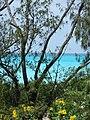 Starr 080610-8383 Casuarina equisetifolia.jpg