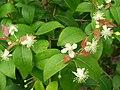 Starr 080610-9502 Eugenia uniflora.jpg