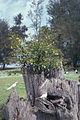 Starr 990429-0641 Ficus microcarpa.jpg