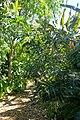 Stenocarpus sinuatus - Marie Selby Botanical Gardens - Sarasota, Florida - DSC01136.jpg
