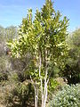 Stenocarpus sinuatus 1c.JPG
