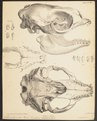 Stenorhynchus rossii - schedel - 1700-1880 - Print - Iconographia Zoologica - Special Collections University of Amsterdam - UBA01 IZ21100183.tif