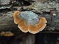 Stereum subtomentosum 115380229.jpg