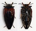 Sternocera orissa variabilis (16242548490).jpg