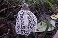 Stinkhorn mushroom mount cameroon national park.jpg