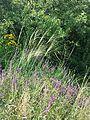 Stipa capillata + Salvia nemorosa sl2.jpg