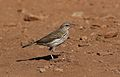 Striped pipit, Anthus lineiventris, at Walter Sisulu National Botanical Garden, Gauteng, South Africa (28671260343).jpg