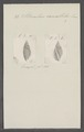 Strombus cancellatus - - Print - Iconographia Zoologica - Special Collections University of Amsterdam - UBAINV0274 084 07 0038.tif