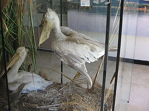 Srebarna Nature Reserve - Pelicans in the museum