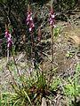 Stylidium graminifolium plant5 - Flickr - Macleay Grass Man.jpg