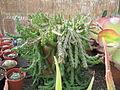Succulent (6313670272).jpg