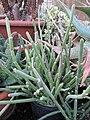 Succulent (6468505363).jpg