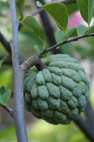 Annona squamosa - Image: Sugar apple on tree