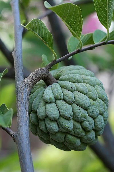 ไฟล์:Sugar apple on tree.jpg