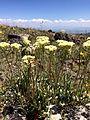 Sulphur-flower buckwheat (14604406251).jpg
