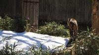 File:Sumatran tiger (Panthera tigris sumatrae) vocalising.webm
