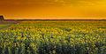 Sunflower Sindh.jpg