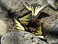Swallowtails.jpg