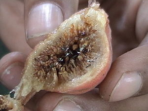Syconium - Cross section of Ficus glomerata fruit showing the syconium with fig wasps.