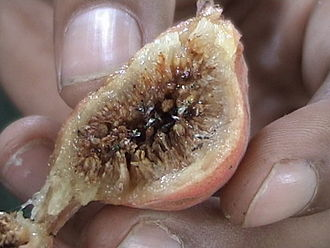 Syconium - Longitudinal section of Ficus glomerata fruit showing the syconium with fig wasps.