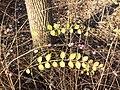 Symphoricarpos ×chenaultii sl3.jpg