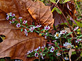 Symphyotrichum lateriflorum - Calico Aster.jpg