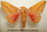 Syssphinx bisecta male sjh.jpg