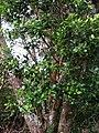 Syzygium sandwicense (4749628106).jpg