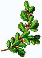 Tölgyág (,heraldika,).PNG