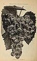 T.V. Munson's Nurseries catalogue (1896) (19922537003).jpg