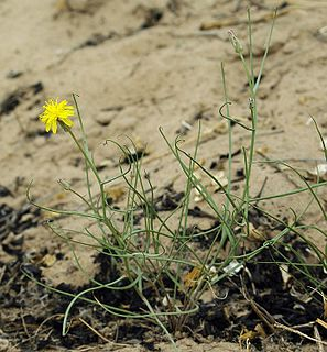 <i>Takhtajaniantha</i> genus of plants