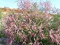 Tamarix gallica Habito ArgamasillaCalatrava.jpg
