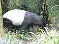 Tapirus indicus.jpg