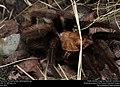 Tarantula (Theraphosidae, Aphonopelma sp.) (37325177582).jpg