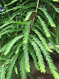 Taxodium mucronatum1.jpg