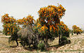 Tecomella undulata tree in Alamarvdasht, Fars, Iran, by Hadi Karimi.jpg