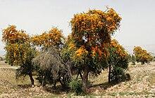 Дерево Tecomella undulata в Аламарвдаште, Фарс, Иран, автор Хади Карими.jpg